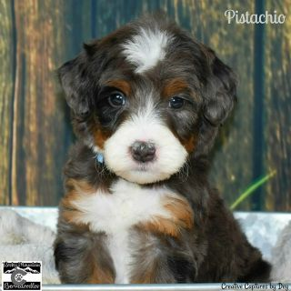 Merle Bernedoodle Aussie Dogs Bernedoodle Puppy Bernese Mountain Dog