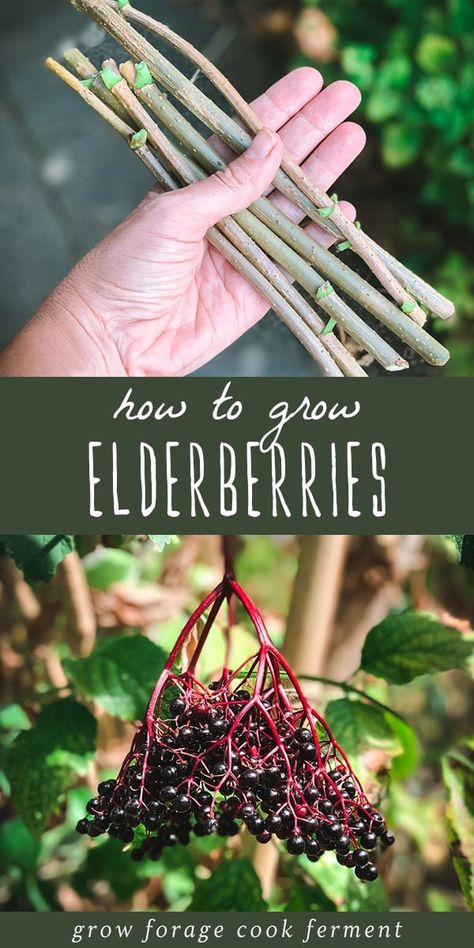 Learn how to grow elderberries for food and medicine, right in your own backyard! Elderberries can be grown from cuttings, starts, or seeds. garden quotes How to Grow Elderberries in Your Backyard Elderberry Growing, Elderberry Plant, Elderberry Recipes, Elderberry Benefits, Fruit Garden, Edible Garden, Herbs Garden, Edible Plants, Garden Pests