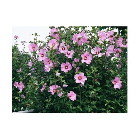 Pin By Gogo On Polyvore Rose Of Sharon Bush Rose Of Sharon