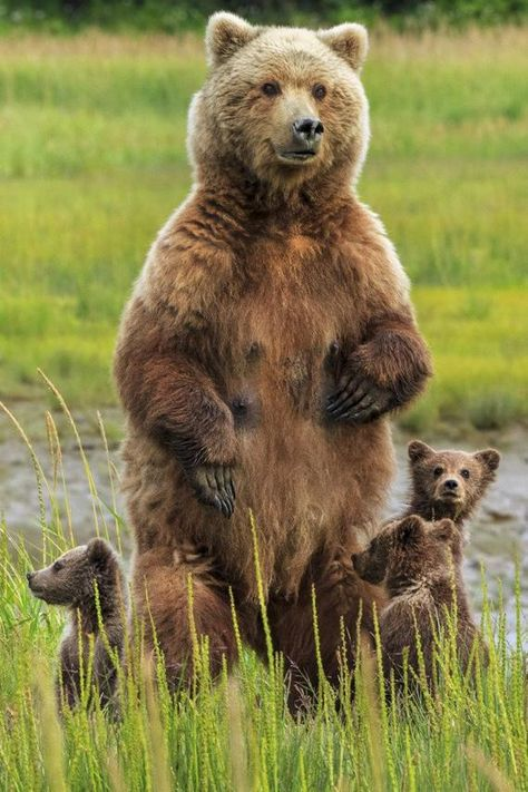 Grizzly Bear and Cubs (Art Prints, Wood & Metal Signs, Canvas, Tote Bag, Towel)