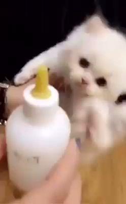 Gatinho tomando leite na mamadeira! #cats #funny