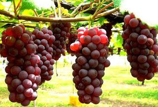 Contoh Tanaman Menempel Contoh Tumbuhan Okulasi Contoh Tumbuhan Vegetatif Buatan Contoh Vegetatif Alami Kumpulan Tanaman Merunduk Pe Di 2020 Anggur Merah Benih Tanaman