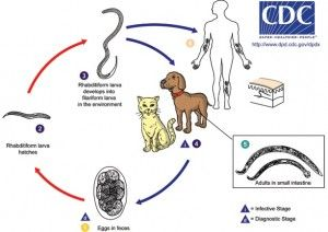 Are Hookworms In Your Soil Life Cycles Worms In Dogs Cat Safe Plants