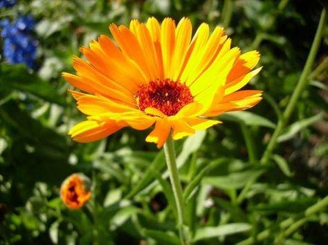 Ringelblume hemmt Entzündungen, kann man essen, sie blüht das ganze Jahr, löst Krämpfe und hat ein sonniges Gemüt.