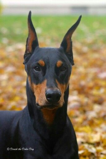 North Bend Wa Dozzer Is A Stunning Doberman Pincher Who Just