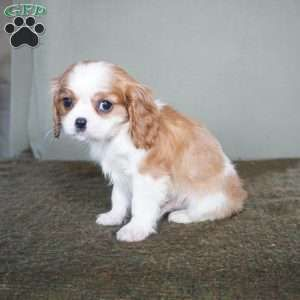 Curtis Cavalier King Charles Spaniel Puppy For Sale In Ohio In