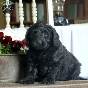 New Arrivals Mini Labradoodle Puppy Greenfield Puppies New Puppy