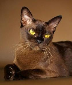 European Burmese Cat Facts About European Burmese Cats Catbreeds Siamese Cats Facts Burmese Cat Cat Facts