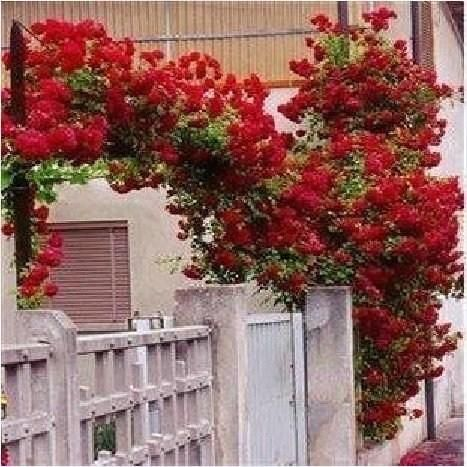 Best 1 Professional Pack, 100 Seeds / Pack, Rare Red Climbing Rose Seeds, Very Beautiful Ornamental Climbing Flowers #a00096 Under $14.97   Dhgate.Com