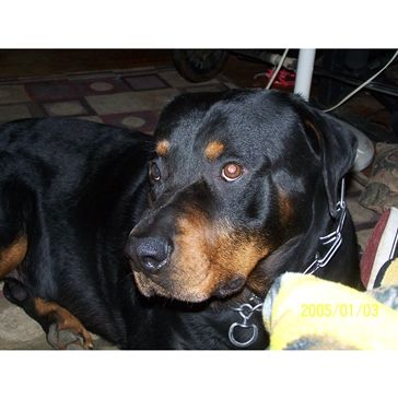 Pin By Rebecca Jones On Dogs Dogs I Love Dogs Rottweiler