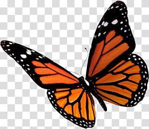 Butterfly Female Monarch Butterfly Illustration Transparent Background Png Clipart Butterfly Illustration Monarch Butterfly Tattoo Butterfly Background