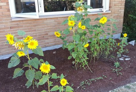 Neighborhood Birds Planted My Sunflower Garden - Crunchy Chicken
