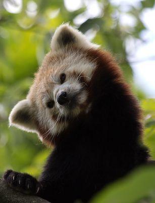 Wer Bist Denn Du Kleiner Panda Panda Roter Panda