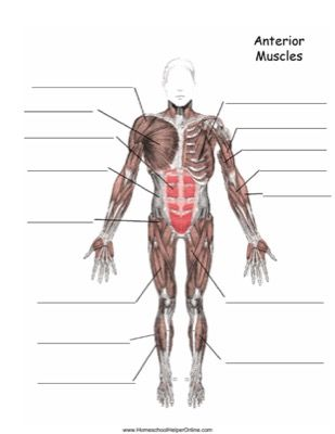 23+ Muscle worksheet answers Free Download