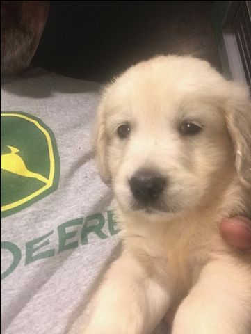 Litter Of 8 Golden Retriever Puppies For Sale In Saint Charles Il