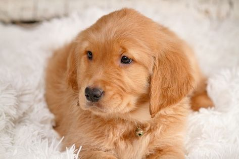 Litter Of 6 Golden Retriever Puppies For Sale In Kennewick Wa
