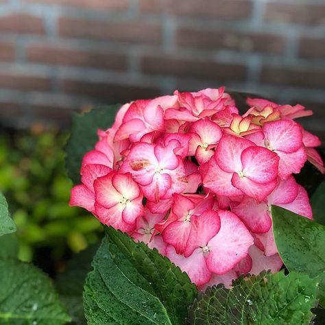 Der Alltag hat mich wieder.... Bergfest  Noch drei Stunden und ich habe Feierabend. . Diese Hortensie wollte im Blumenkübel nicht so richtig wachsen da habe ich sie einfach in den Garten gepflanzt und ... siehe da... Ta da... eine riesige Blüte. Die Art von Blüte und Farbe hätte ich noch nie. . Habt einen schönen Mittwoch . . . . #wednesday #elkeworks #foodundlifestyleblog #ü50 #blumen #garten #hortensien #hortensienliebe #instaflower #instalike #over50 #colour #gardening #tipsundtricks #vernetz