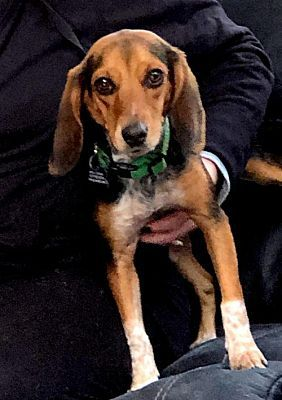 Alpharetta Ga Beagle Meet Pennylayne A Pet For Adoption
