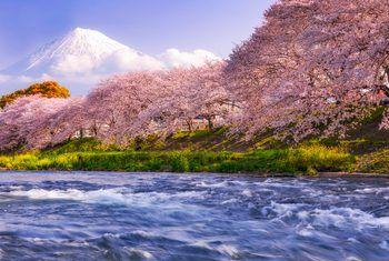 How To Prune A Flowering Cherry Flowering Cherry Tree Cherry Tree Tree Pruning