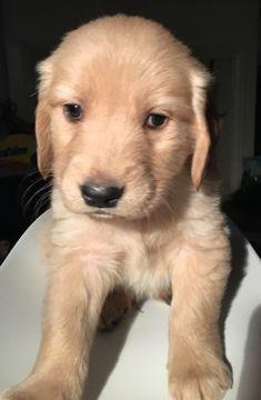 Litter Of 9 Golden Retriever Puppies For Sale In Seattle Wa Adn