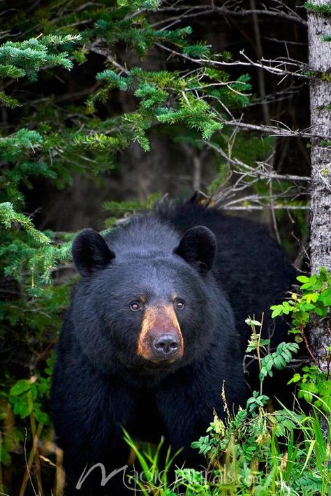 A Black Bear Has A Gentle Look - Click to Zoom!