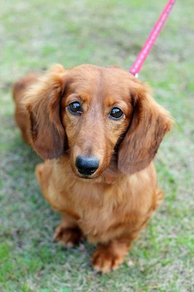 犬 ダックスフンド 茶色 オス 生年月日推定平成21年 体重7kgの