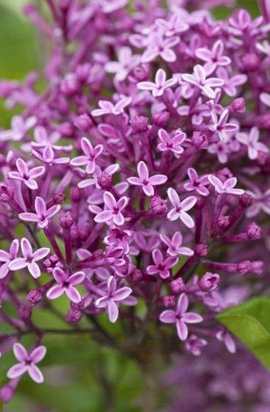 Fiori Online Bologna.Syringa Bloomerang Dark Purple Con Immagini Fiori Viola