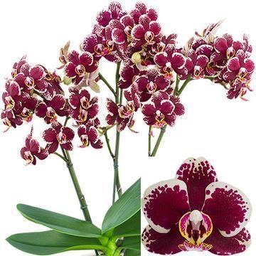 Phalaenopsis Streetwise Phalaenopsis Orchid Orchids Phalaenopsis