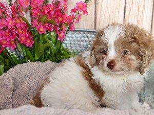 Puppies For Sale Puppies For Sale Puppies Yorkie