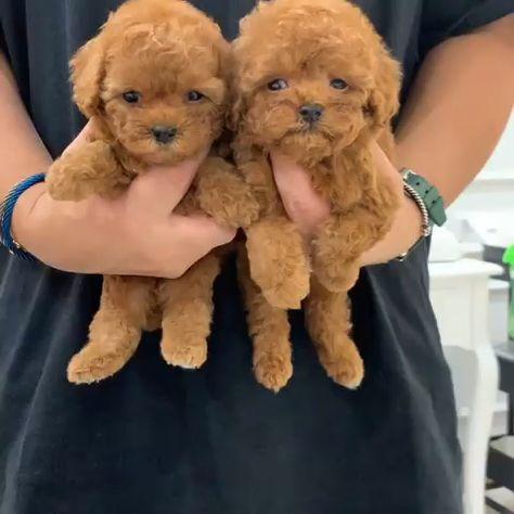 Teddy Bear Poodles