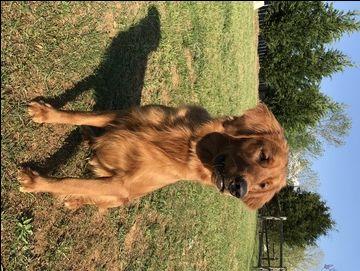 Golden Retriever Puppy For Sale In Winston Salem Nc Adn 27987 On