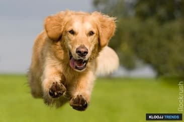 Having Trouble Recalling Your Dog Golden Retriever Dogs Retriever