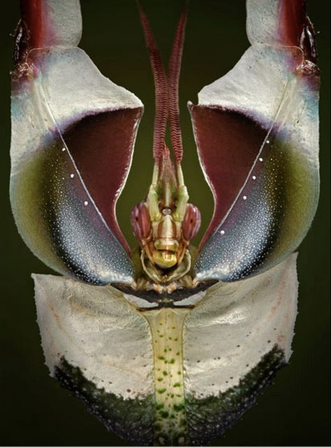 A giant devil's flower mantis