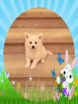 American Eskimo Dog Puppy For Sale In Clarksville Tn Adn 70682