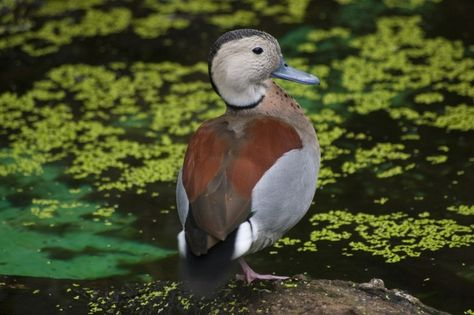 2012 Hatch pair of Ringed Teal duck