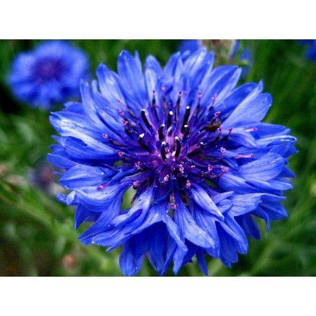 Quality Cornflower Seeds Centaurea Seeds And Plants Blue Cornflower Bachelor Button Flowers Flower Seeds Blue Wedding Flowers
