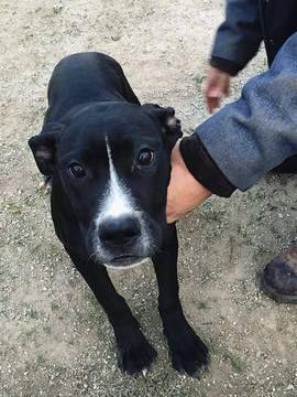 Bullmastiff Great Dane Mix Puppy For Sale In Tuscola Il Adn
