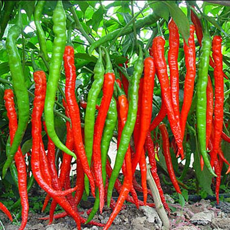 [US$3.99 33% OFF] Egrow 100Pcs/Pack Red Pepper Seeds Garden Long Chili Vegetable Seeds Home Kitchen Seasoner Gardening from Home and Garden on banggood.com