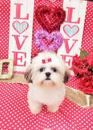 Shihtzu Shihtzus Yorkiebabies Teacup Puppies Puppy Puppys Teacup Puppies Shih Tzu Puppy Teacup Yorkie