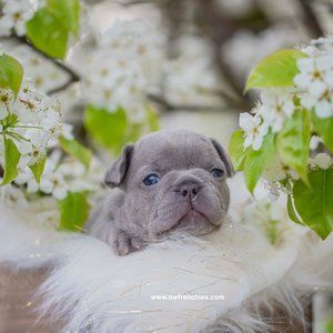 Nw Frenchies Lilac French Bulldog Puppy French Bulldog Cost