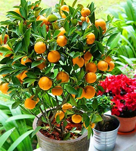 10 Dwarf Fruit Trees That You Can Grow In Pots Easily Potted Fruit Trees Bonsai Fruit Tree Fruit Trees Uk