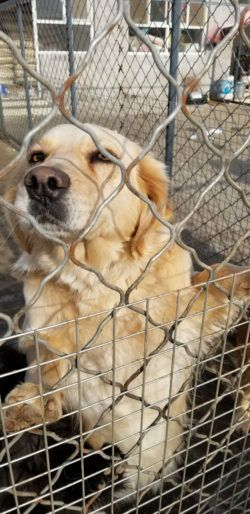 Golden Retriever Rescue Golden Retriever Adoption Oregon