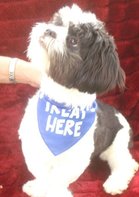 Adopt Adelaide On Shih Tzu Adoption Shih Tzu Rescue