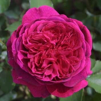 Englische Strauchrose Rose The Dark Lady Strauchrose Rosen David Austin Rosen