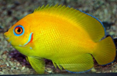 The Lemonpeel Angelfish Is A Cheery Yellow With Sky Blue Highlights On The Lips Encircling The Eyes On The Pectoral Fins And In 2020 Angel Fish Fish Blue Highlights