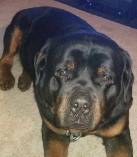 Lost Dog Champlin Rottweiler Male Date Lost 10 17 2018 Dog S