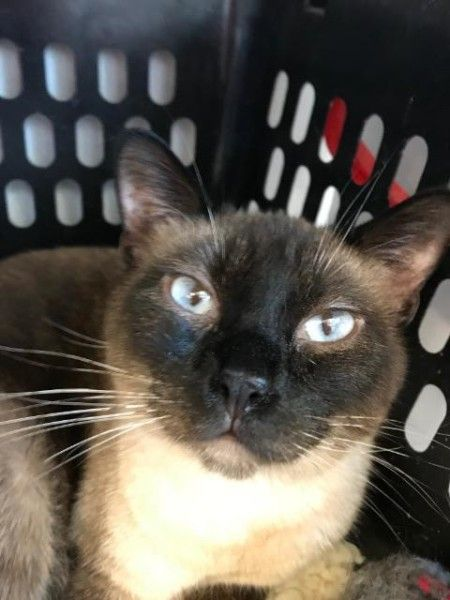 Milli Siamese Cat For Adoption In Hastings Nebraska Cat Adoption Siamese Cats Cats
