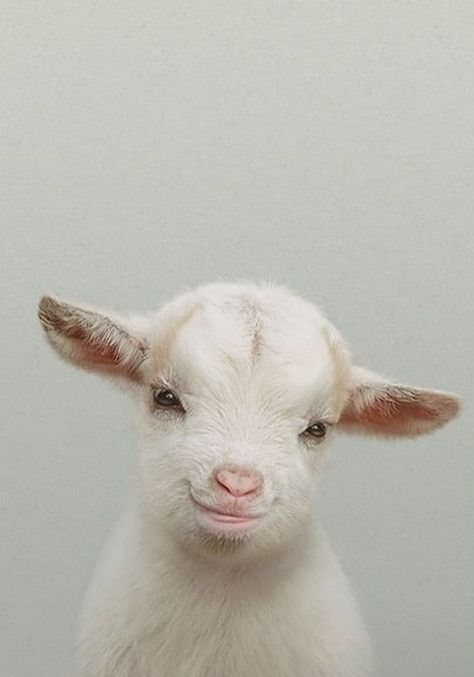 Baby Goat Wallpapers Hd Animals Beautiful Animals Cute Baby Animals