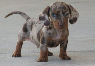 Different Types Of Dachshunds With Pictures Bark How Dapple