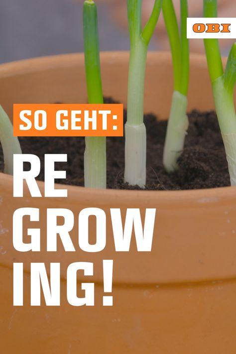 """Regrowing – so ziehst du aus vermeintlichen Küchenabfällen neue Pflanzen. Hinter dem englischen Begriff """"Regrowing"""" verbirgt sich das Prinzip, Gemüsereste aus der Küche nachwachsen zu lassen. """"Regrow your veggies"""" heißt die Devise. Somit gehören Gemüsereste nicht mehr länger in den Müll! Die Anleitung zum nachhaltigen Trend findest du im SO GEHT DAS Magazin!"""